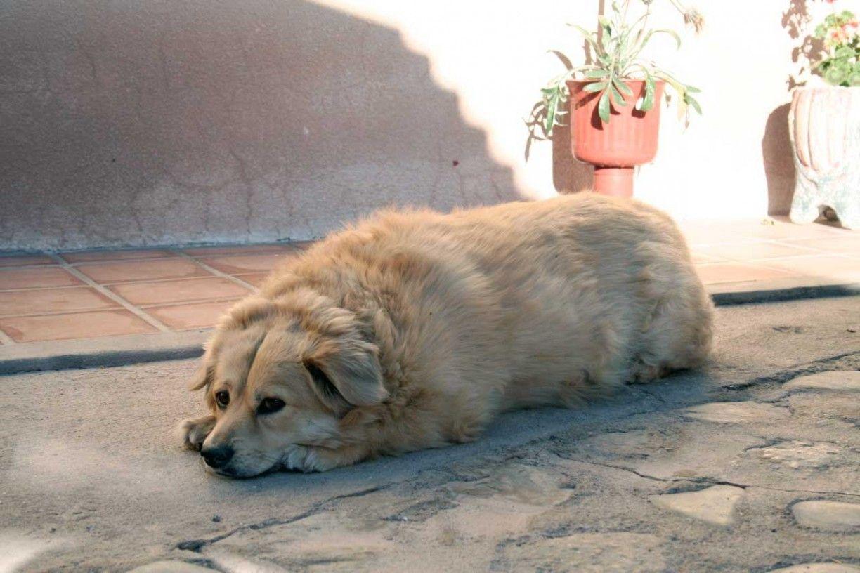 Dieta casera y BARF para perros obesos
