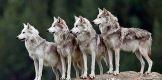 lobos red venta