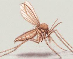 Leishmaniosis mosquito