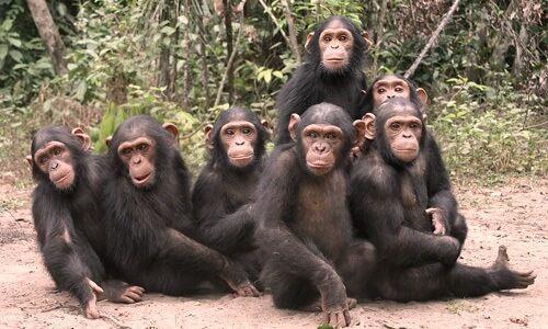 Catalunya prohíbe rodar concursos con chimpancés como 'Involución'