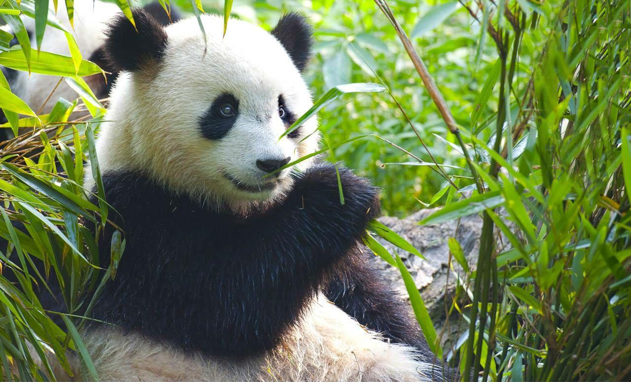 Las dos crías de oso panda nacidas en Madrid ya se pueden ver en el Zoo Aquarium