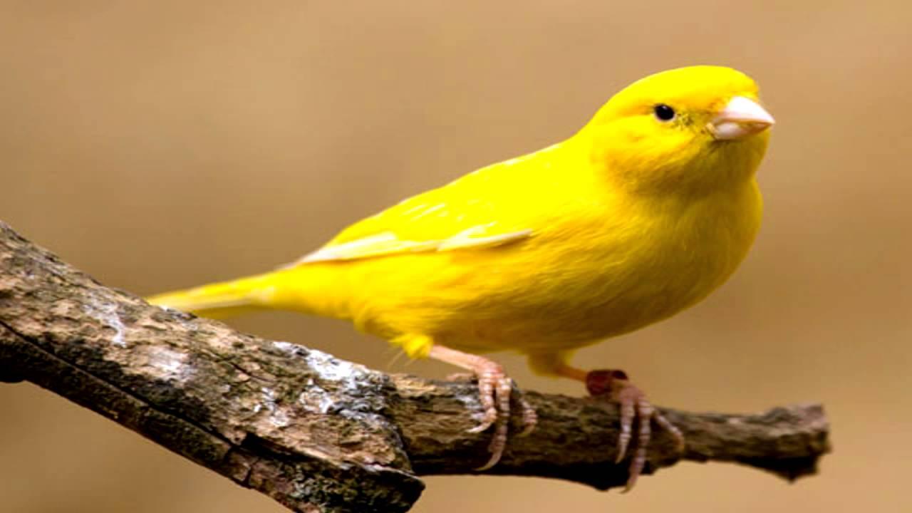 Una gran incautación destapa el tráfico de pájaros cantores