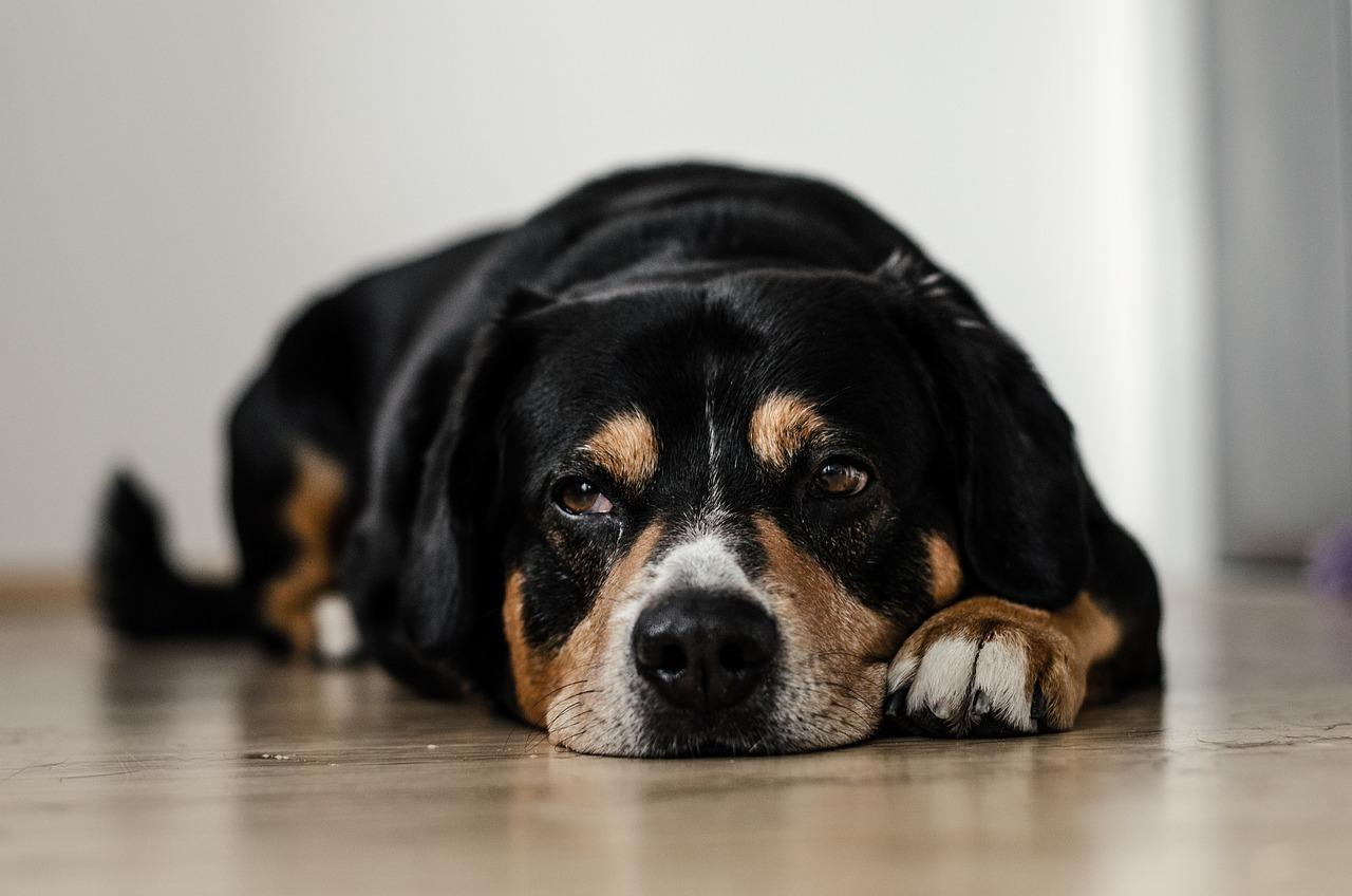 Enfermedad articular degenerativa en perros con soluciones naturales