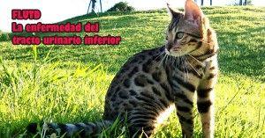 flutd-tracto-urinario-gatos